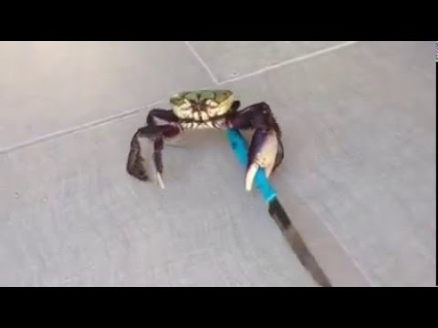 Don't mess with this crab!