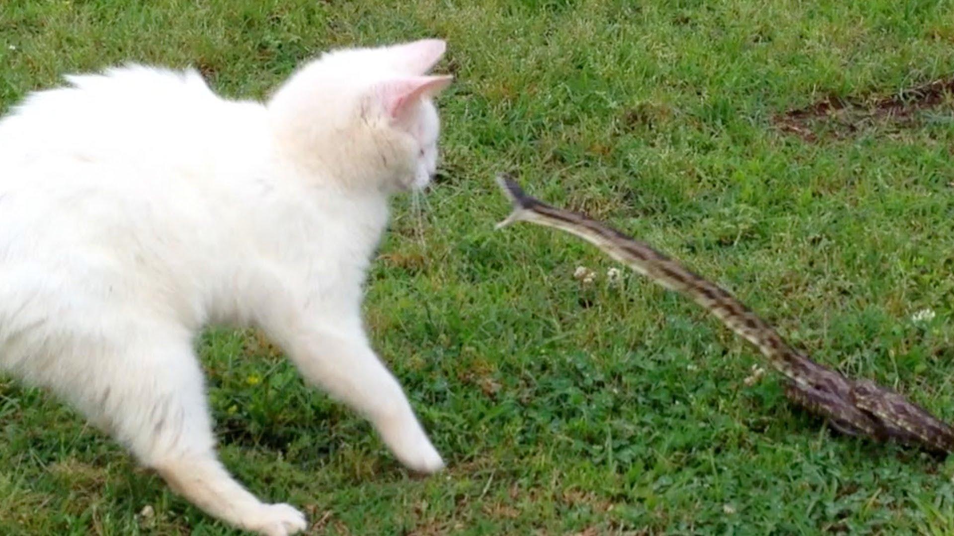 Crazy Cat attacks Snake - Top-LoL